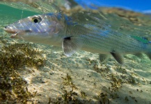 JB McCollum 's Fly-fishing Photo of a Bonefish – Fly dreamers