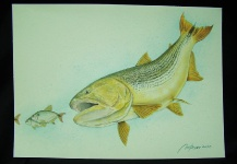 Golden Dorado Aquarel by Marco Aurelio - Fly dreamers