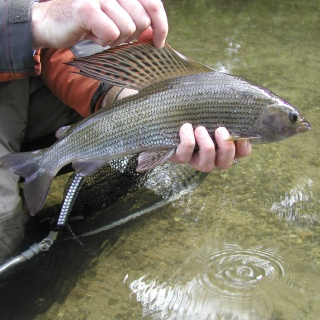 River Wylye Grayling