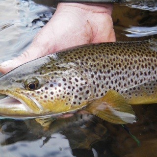 River Eden Wild trout  2014