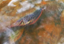 Fly-fishing Image of Grayling shared by Jaś Zaborowski – Fly dreamers