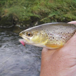 Wild trout on the Lifter Fly