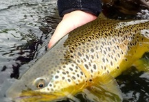 Fly-fishing Picture of European brown trout shared by Magnus Hedman – Fly dreamers