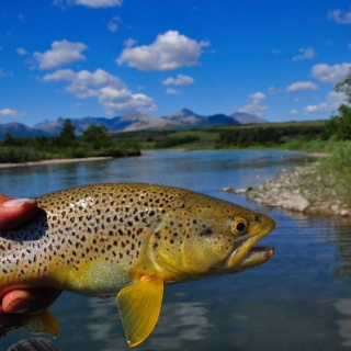 Alberta Brown Trout