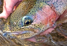Scott Furushima 's Fly-fishing Photo of a Rainbow trout – Fly dreamers