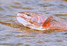 Fly-fishing Picture of Rainbow trout shared by Scott Furushima – Fly dreamers