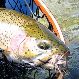 Fly fishing for Rainbow Trout - Copper River Lodge