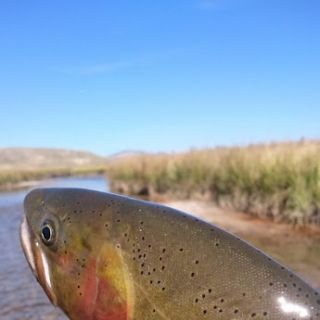 A big Slough Creek Cutthroat