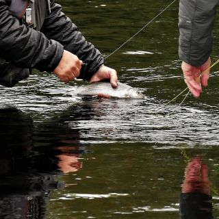 Returning a Grayling on River Tees