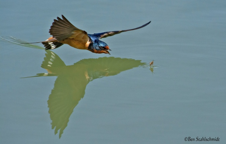 I had to add one more that I shot today while bass fishing. This is my favorite one yet of a barn swallow.